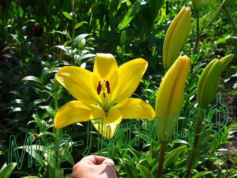 фотки цветы лилии