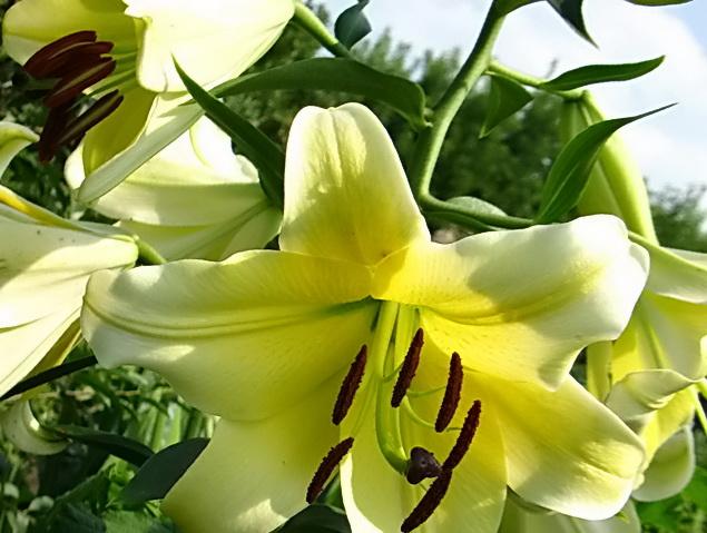 лилии от гибриды сорта фото