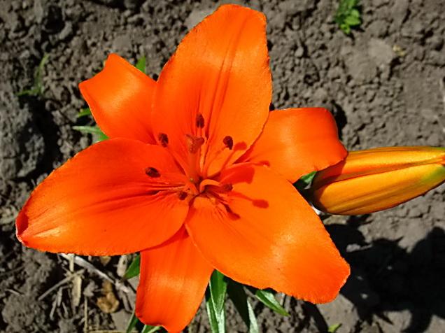 Королевская лилия цветок